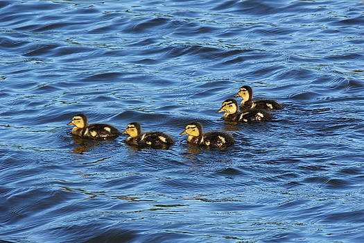 Five Little Ducklings by Francie Davis