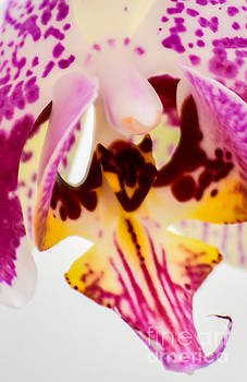 Pink Orchid by Kenroy Rhoden