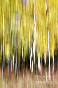 Flagstaff Aspens by Bryan Keil