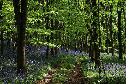 Flakebridge Wood bluebells by Gavin Dronfield