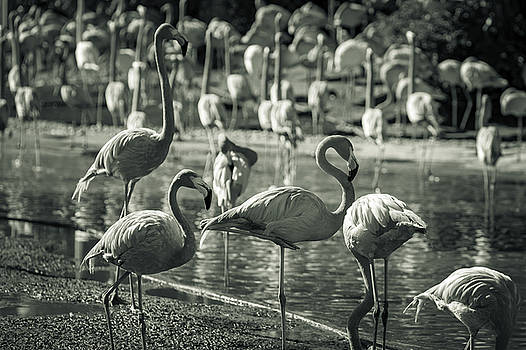 Flamboyance of Flamingos by Jason Moynihan