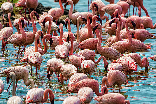 Pravine Chester - Flamboyance of Flamingos