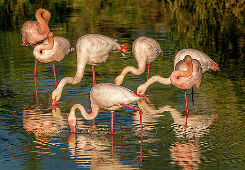 Flamboyant of Great Flamingos by Tito Santiago