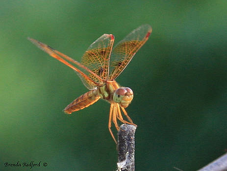 Flame Skimmer Dragonfly by Brenda Redford