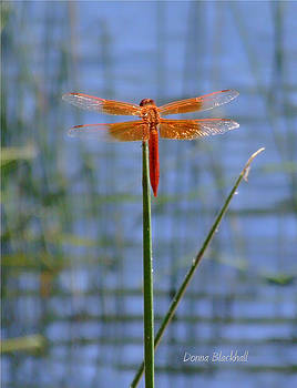 Donna Blackhall - Flame Skimmer Dragonfly