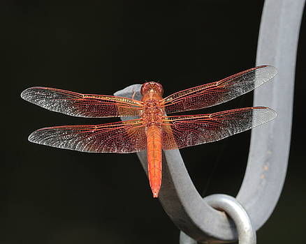 Flame Skimmer by John Moyer