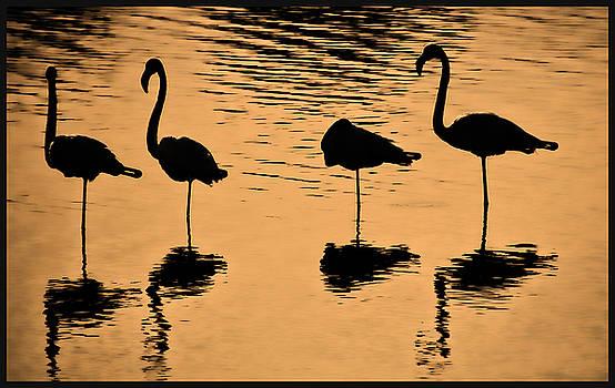 Flamingo by Ben Osborne