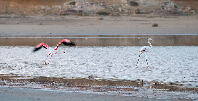 Flamingo bird flying and walking on the lake by Michalakis Ppalis