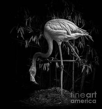 Flamingo Classic BW by Toma Caul
