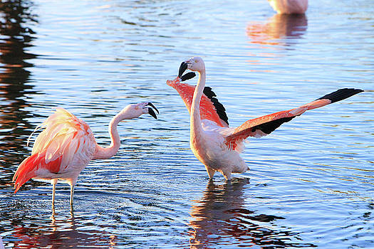 Flamingo Dance by Shoal Hollingsworth