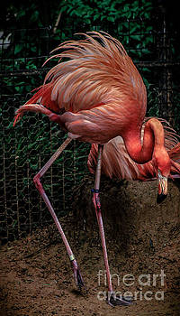 Flamingo Glory by Toma Caul