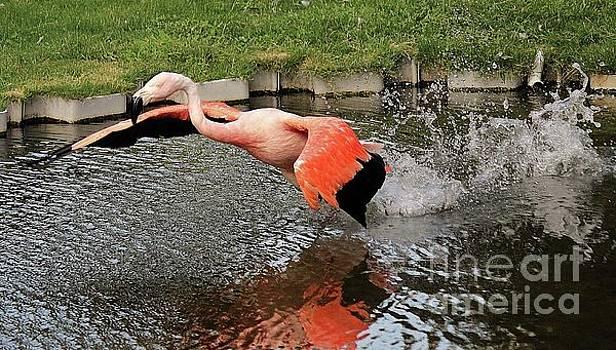 Paulette Thomas - Flamingo In Flight