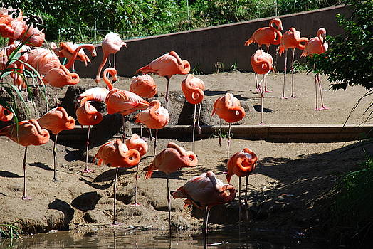 Flamingo Nap by Karen Tibbetts