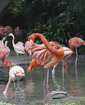 Flamingo Preening IMG_2898 by Torrey E Smith