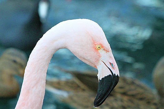 Flamingo Profile by Shoal Hollingsworth
