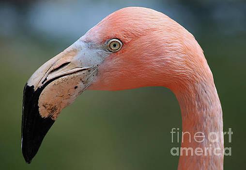 Flamingo Protrait by Marty Fancy