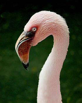 Flamingo by Sarah Lilja