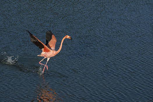 Flamingo by Stephen Degraaf