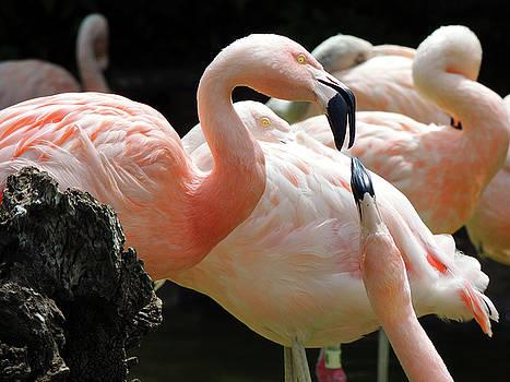 Flamingo Talk by Krin Van Tatenhove