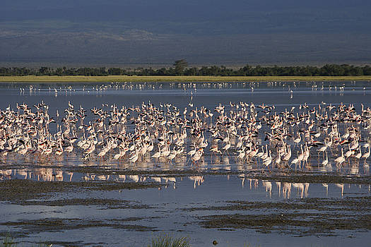 Michele Burgess - Flamingos at Amboseli
