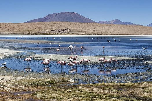 Venetia Featherstone-Witty - Flamingos on a Lagoon at Salar de Uyuni Bolivia