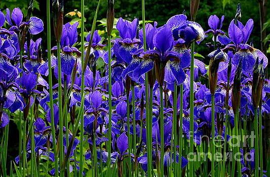 Fleur de Lys by Elfriede Fulda