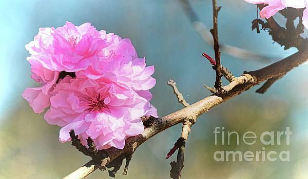 Fleurs de Cerisier by Diana Mary Sharpton