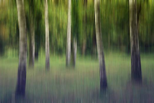 Flickering Birches by AugenWerk Susann Serfezi