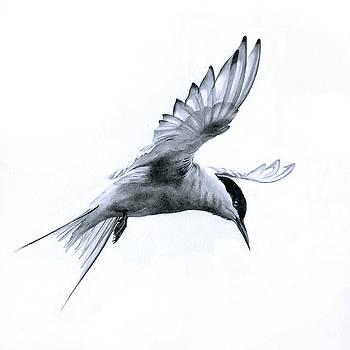 Flight - Arctic Tern by Bev Lewis
