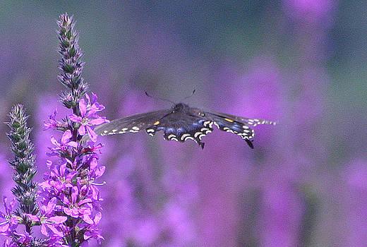 Flight of the Swallowtail by Garnie McEwen