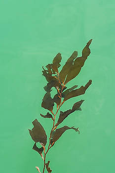Art Block Collections - Floating Seaweed