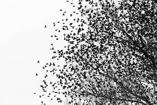 Flock of birds by Massimo Discepoli
