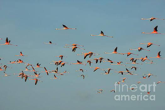 Patricia Hofmeester - Flock of flamingoes