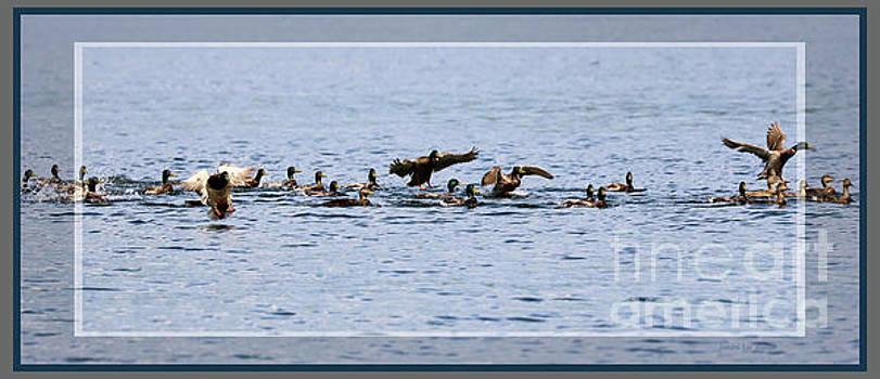 Sandra Huston - Flock of Mallards Panorama