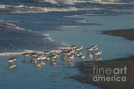 Flock of Sanderlings by Don Wilhour