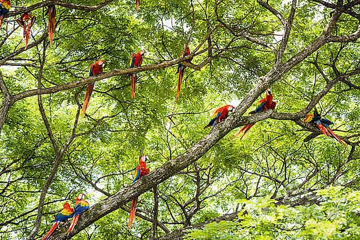 Oscar Gutierrez - Flock of scarlet macaws