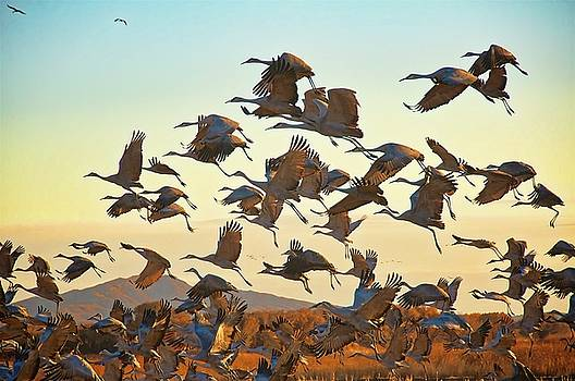 Liftoff, Sandhill Cranes by Flying Z Photography by Zayne Diamond