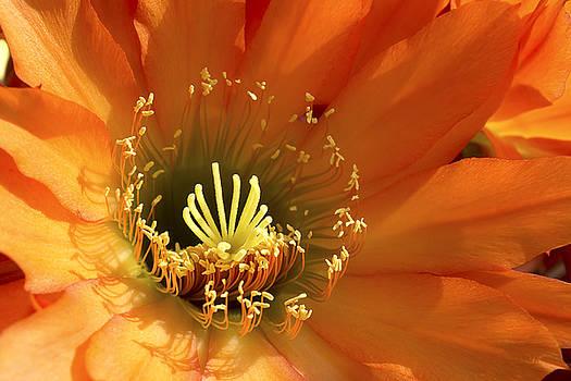 Flor Del Sol by Ryan Seek