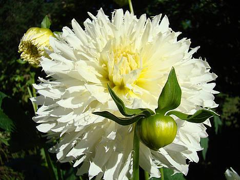 Baslee Troutman - Floral art Dinner Plate Dahlia Flowers