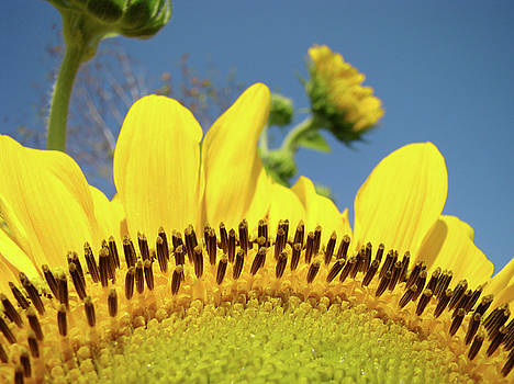 Baslee Troutman - Floral art Yellow Sunflowers Landscape Blue Sky Baslee Troutman