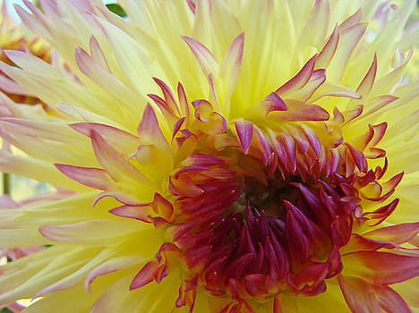 Baslee Troutman - Floral Fine Art Dahlia Flower Yellow Red Prints Baslee Troutman