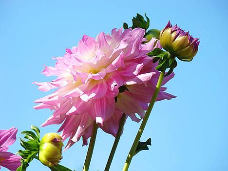 Baslee Troutman - Floral Landscape Art Print Pink Dahlia Flower Blue Sky Canvas Baslee Troutman