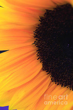 Florets and petals of a sunflower by Deborah Benbrook