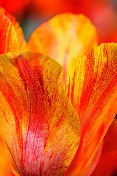 LeeAnn McLaneGoetz McLaneGoetzStudioLLCcom - Florette Tulip