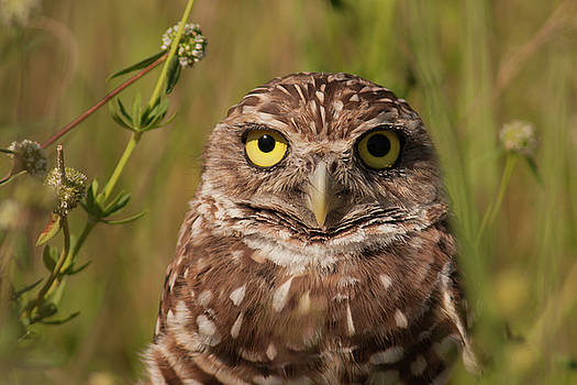 Paul Rebmann - Florida Burrowing Owl