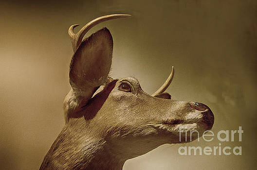 Florida Deer by Judy Hall-Folde