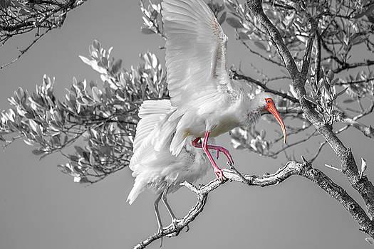 Florida Keys White Ibis by Betsy Knapp