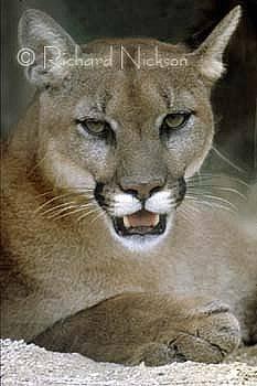 Florida Panther by Richard Nickson