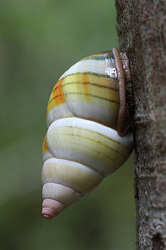 Paul Rebmann - Florida Tree Snail