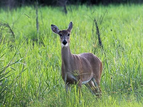 Patricia Twardzik - Florida Whitetail Deer
